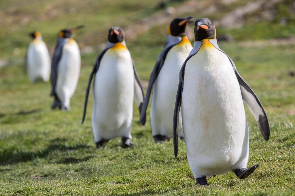 Walking king penguins