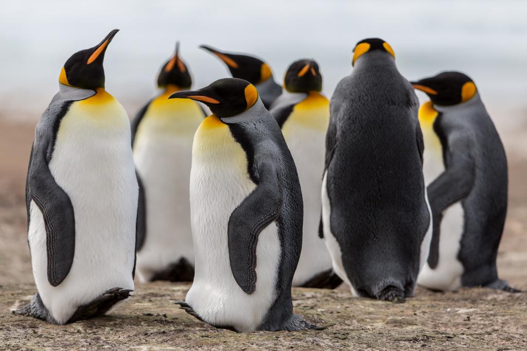 King Penguins on the beach