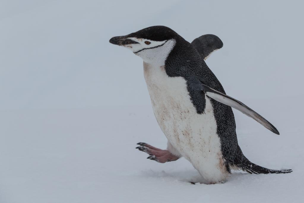 Walking Chinstrap Penguin