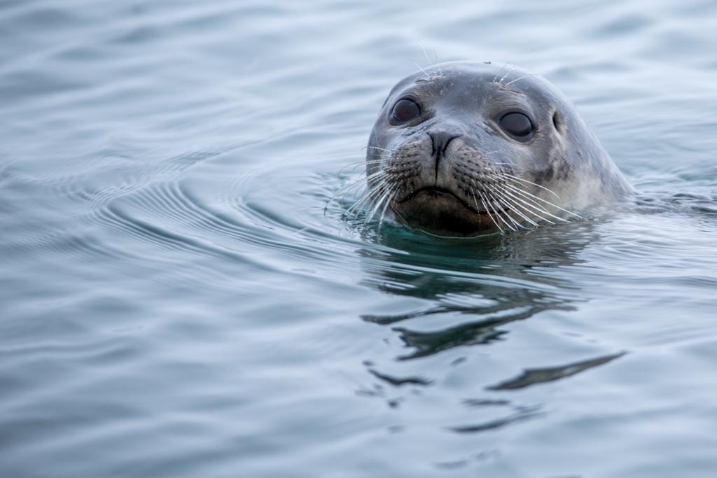 Portrait of a seal in Jökulsarlon