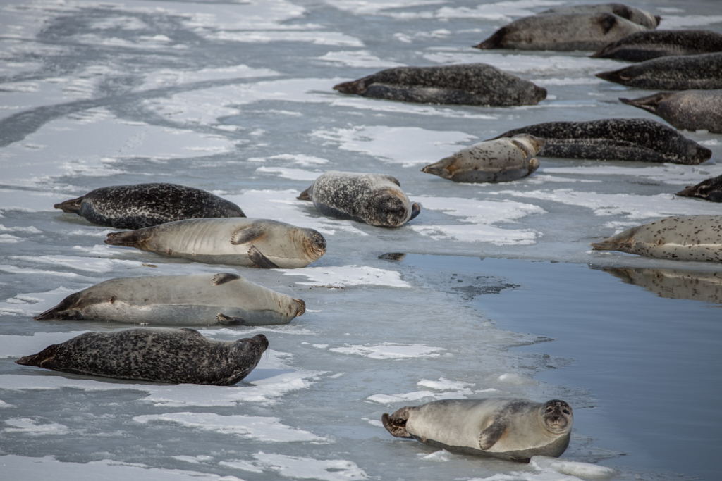 Seal colony on an ice float