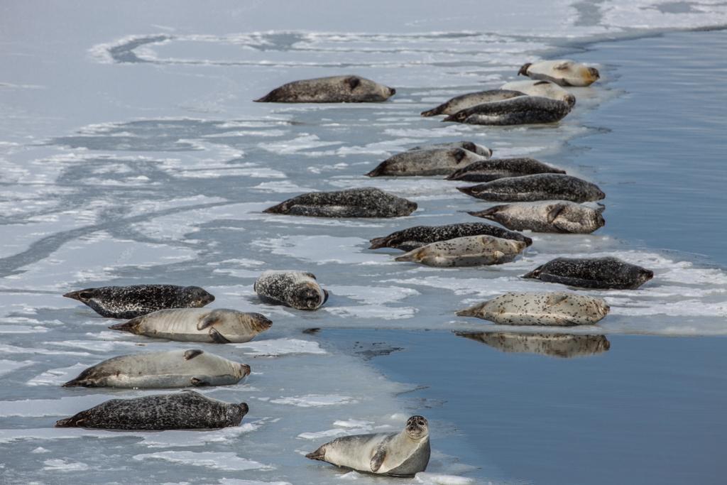 Seals on ice at Jökulsarlon