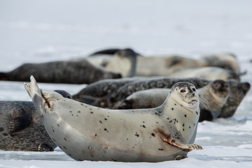 Little seal on ice