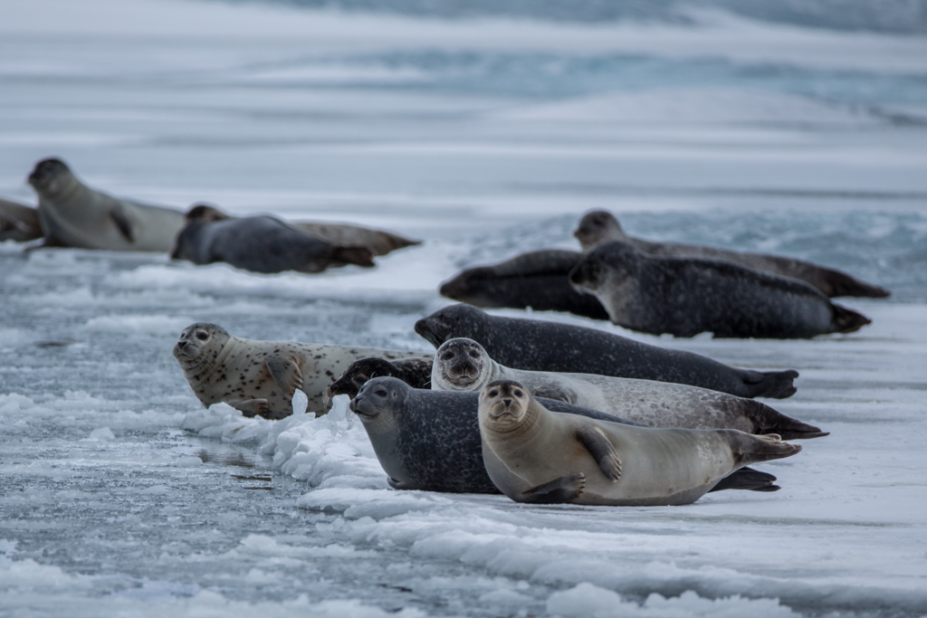 Seals on the ice floats