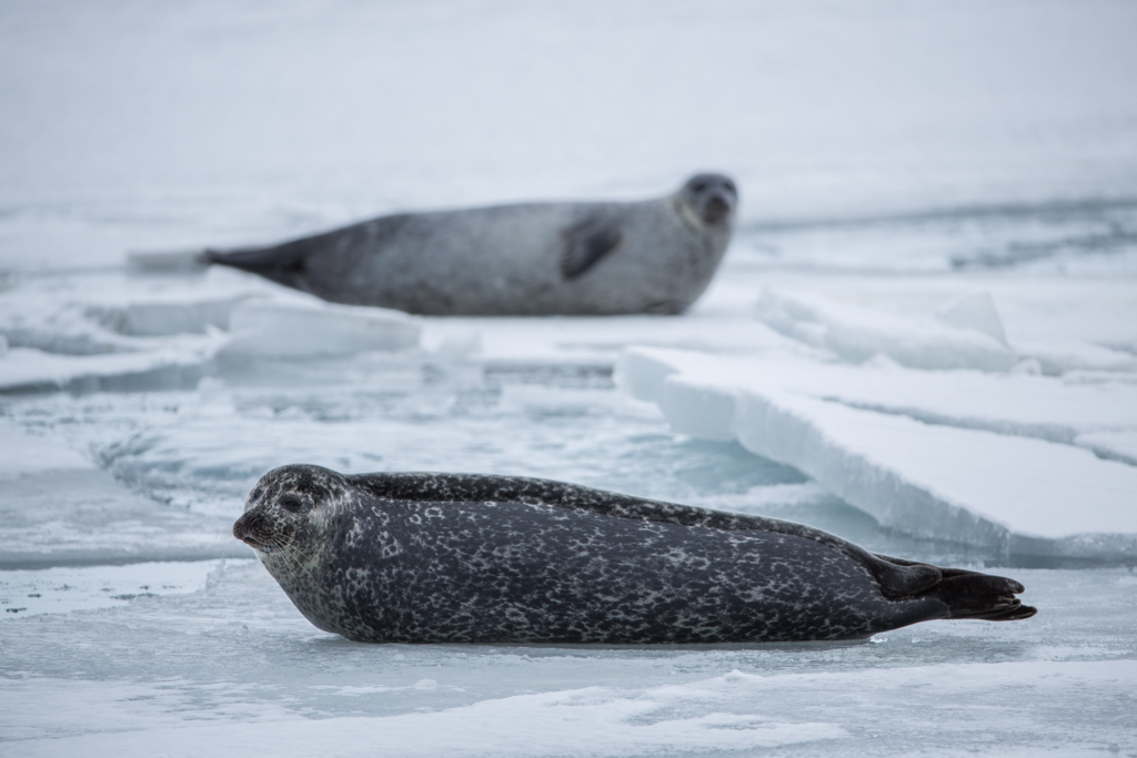 Seals on ice floats