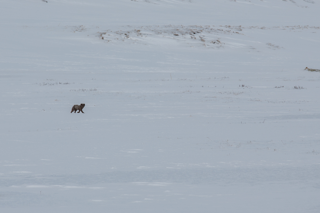 Foxes_259.jpg