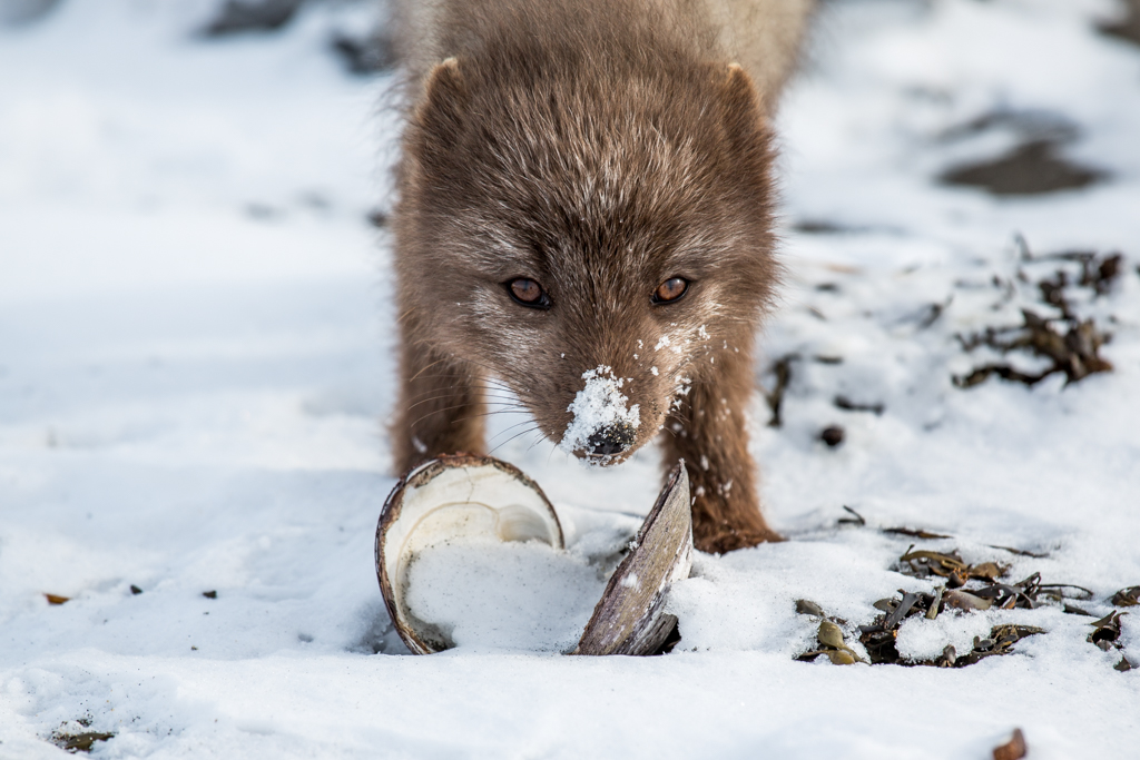Arctic fox eating shells