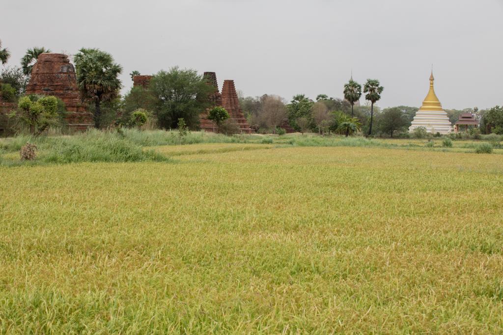 Green fields in Inwa