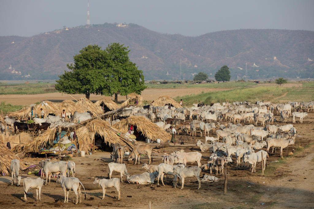 Cattle close to Mandalay