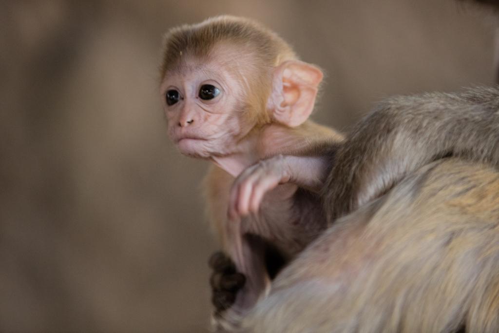 Monkeys at Taung Kalat