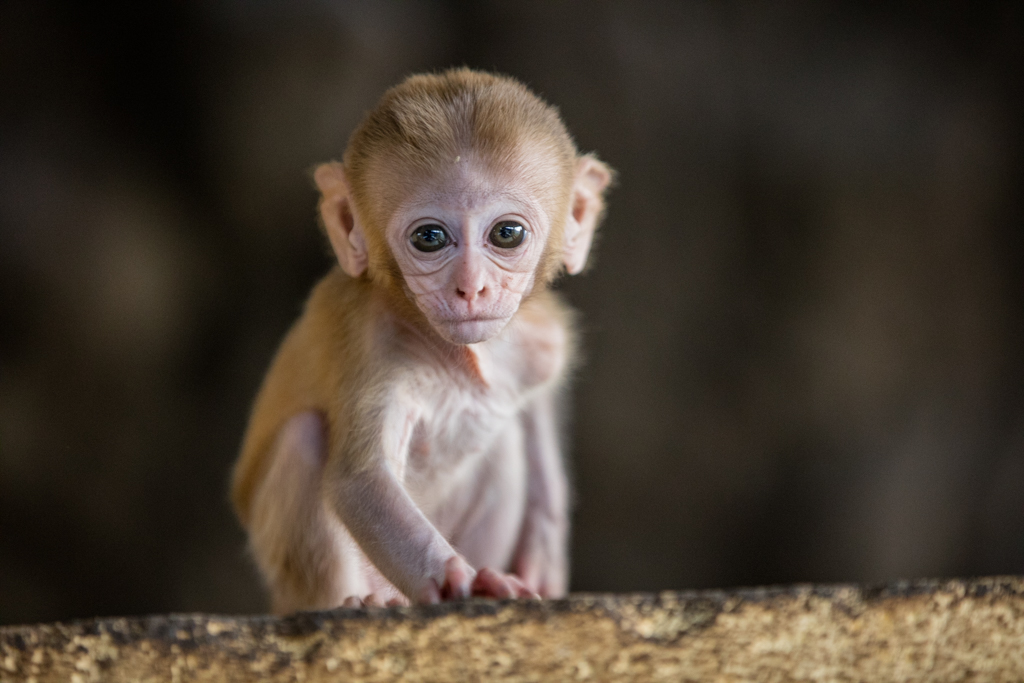 Little macaque monkey at Mt. Popa