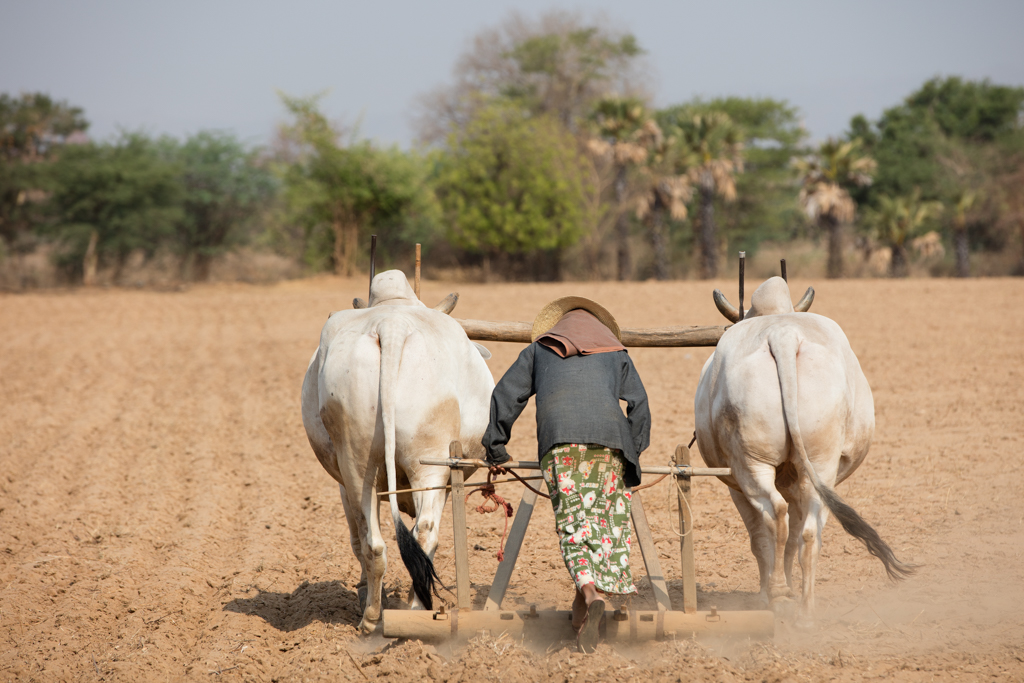 Farmer with 2 cattle