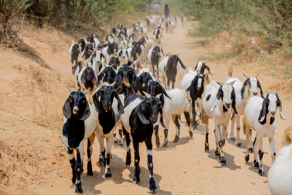 Herd of goats in Bagan