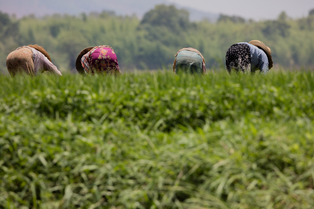 Farmers bending down