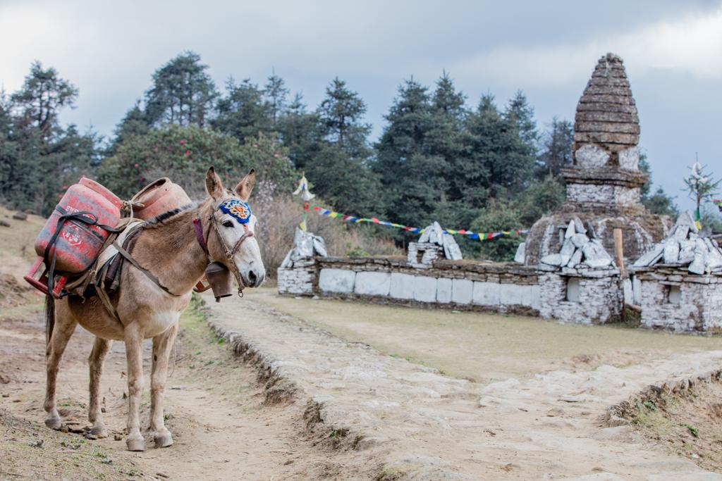 Mule before gompa in Taksindu