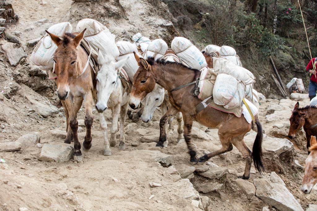 Mules on the way to Taksindu La Pass