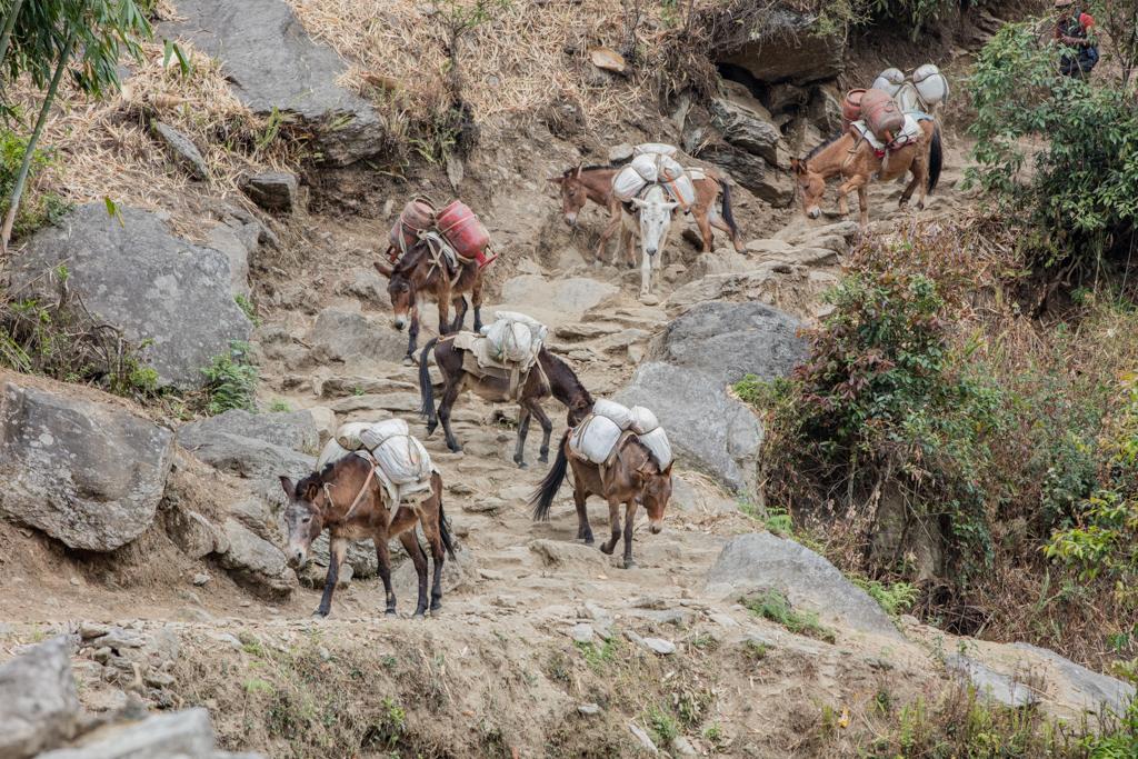Mules close to Jubhing