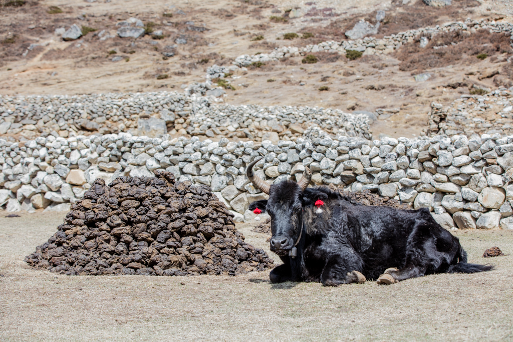 Valuable fuel from Yaks