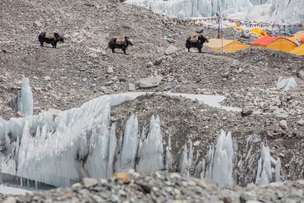 Yaks reaching Everest Base Camp