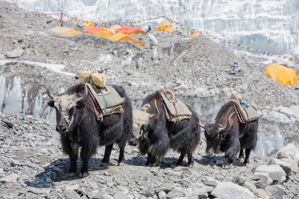 Yaks on the way back from basecamp