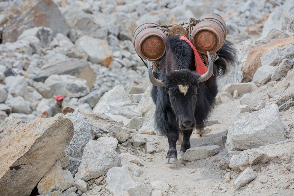 Yak with fuel bottles