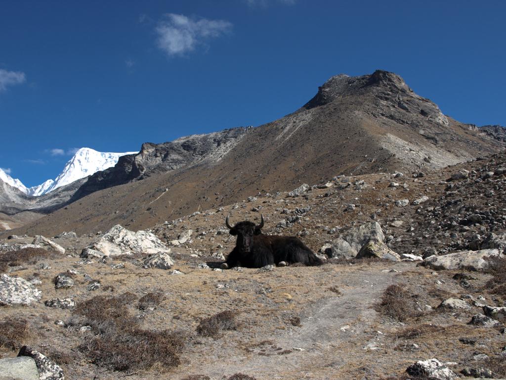 Surprising encounter with yak