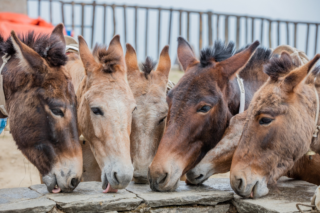Mules with a salt snack