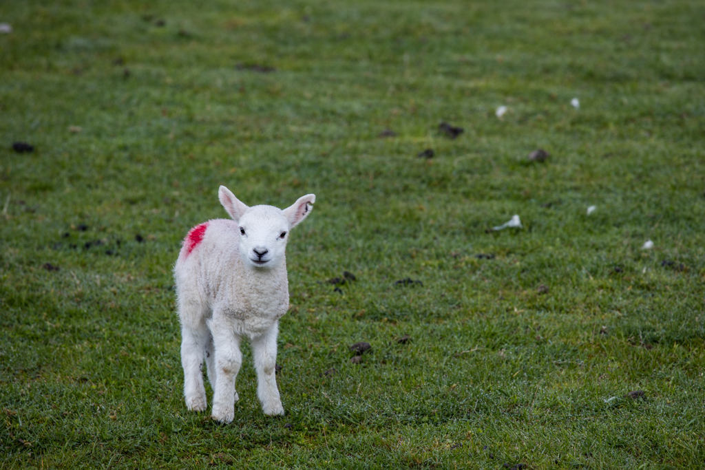 Little sheep in Scotland