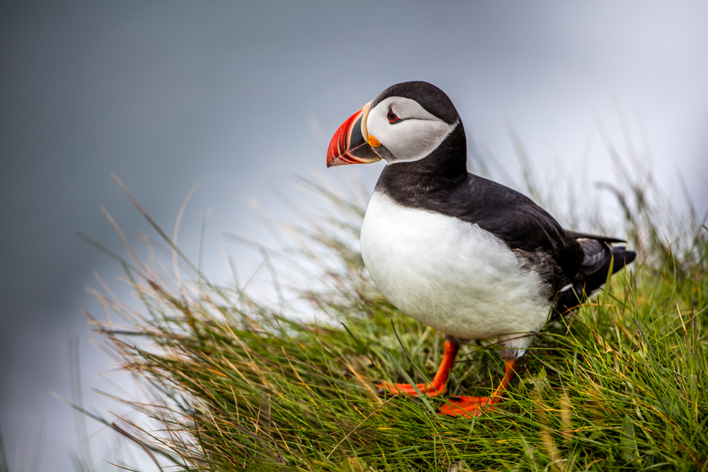 The puffins of Vik (2015)