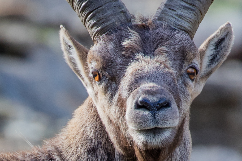Alpine ibexes in Glarner Land 2016
