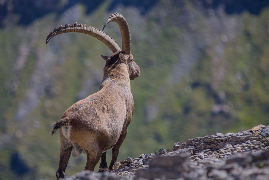 Alpine ibexes in Glarner Land 2012