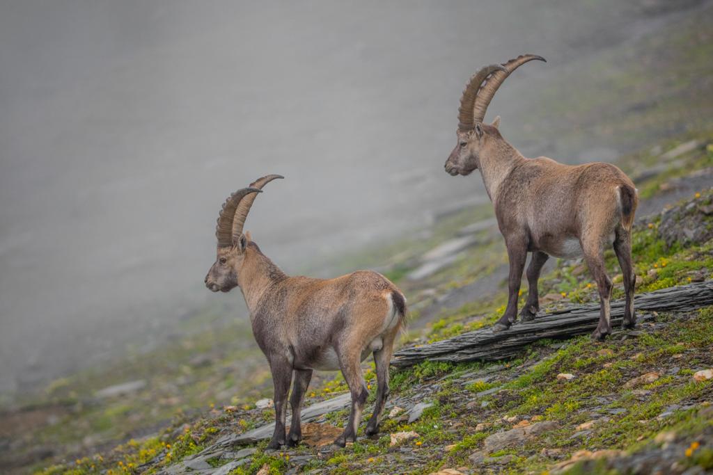 Alpine Ibex in Glarner Land (2016)