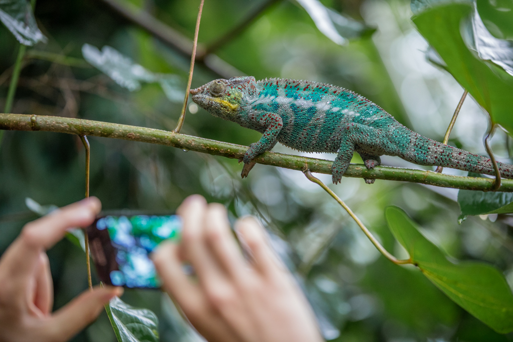 Photographing a male Panther Chameleon