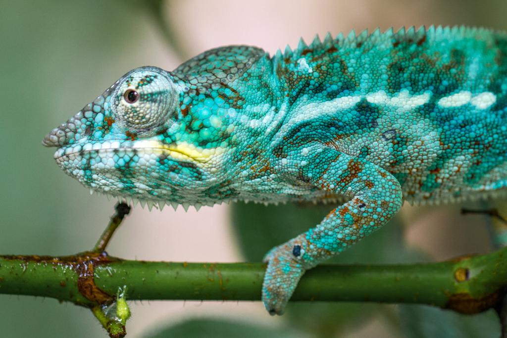 Green Panther Chameleon