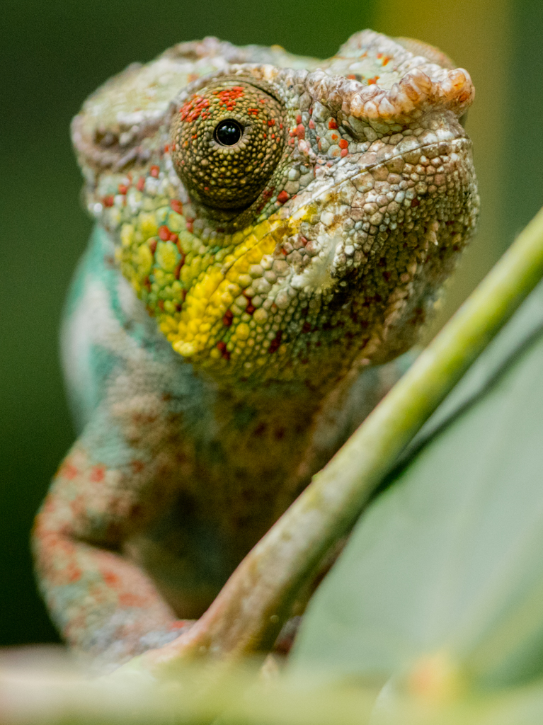 Green yellow chameleon