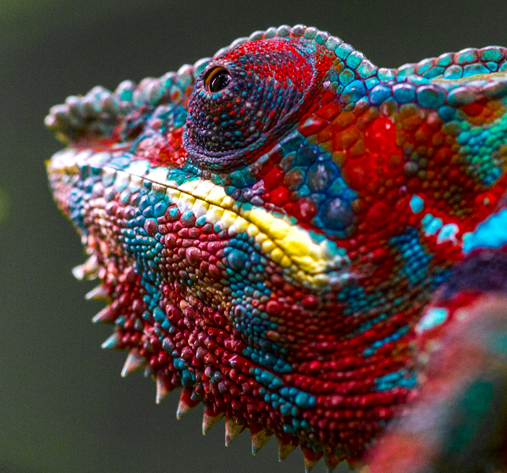 Head of a male chameleon