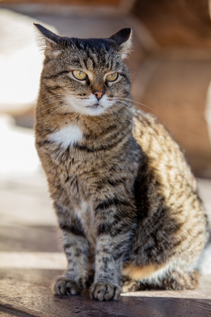 Cat from Suzdal in Russia