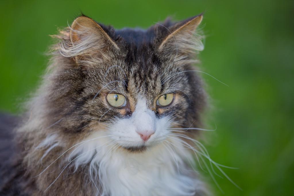 Beautiful cat from my neighbor in Schübelbach