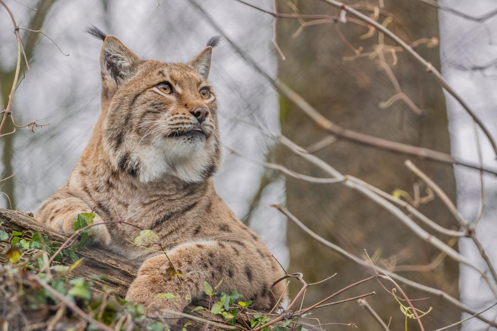 Lynx from wildlife park Goldau in Switzerland