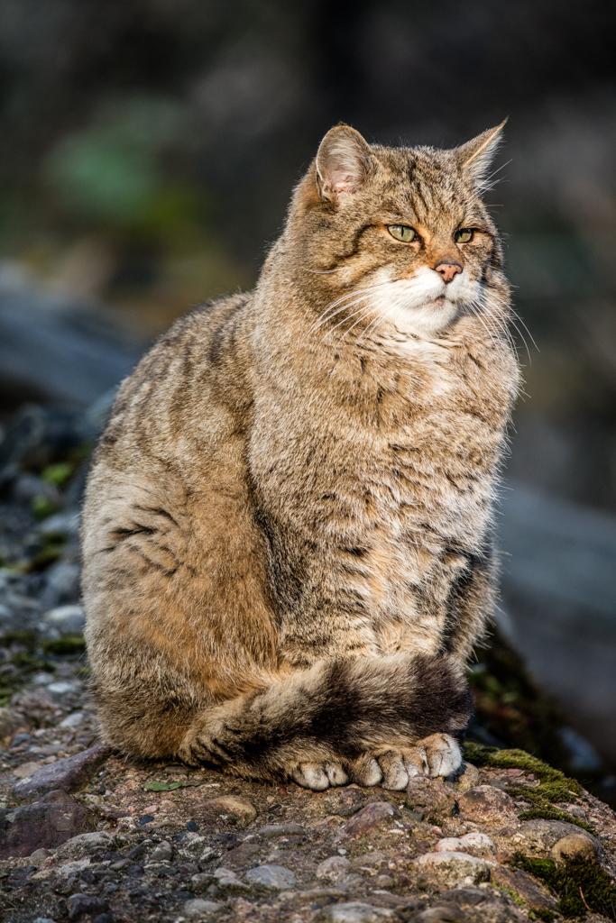 Wildcat from wildlife park Goldau in Switzerland