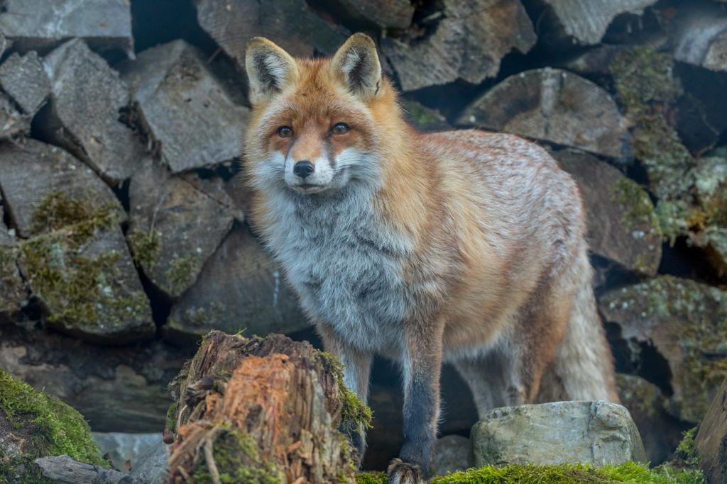 Red Fox from wildlife park Goldau in Switzerland
