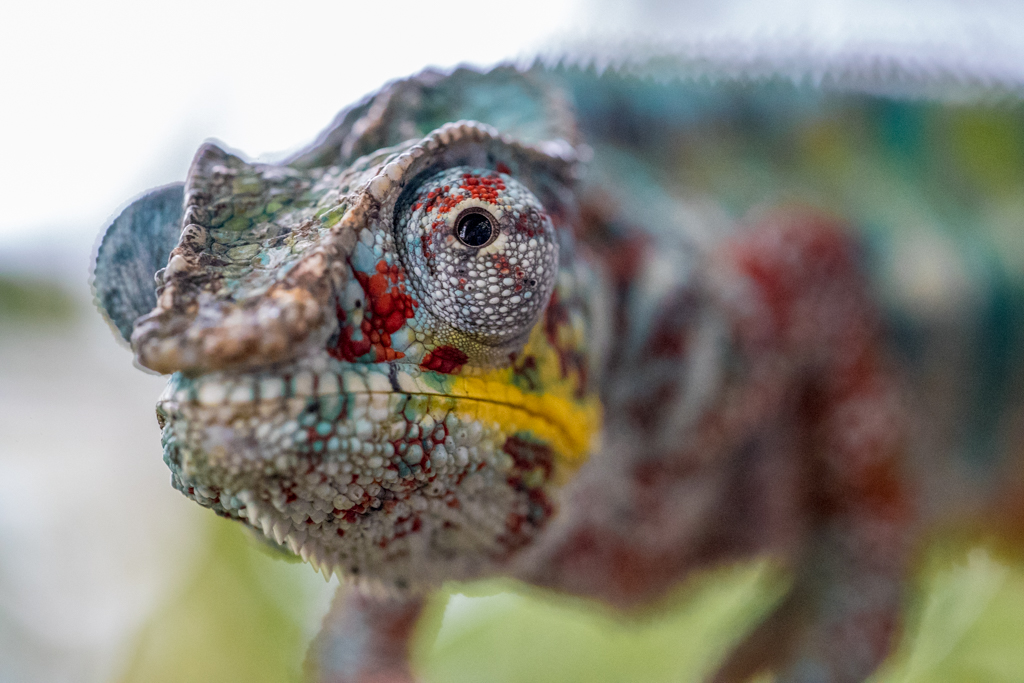 Male Panther Chameleon