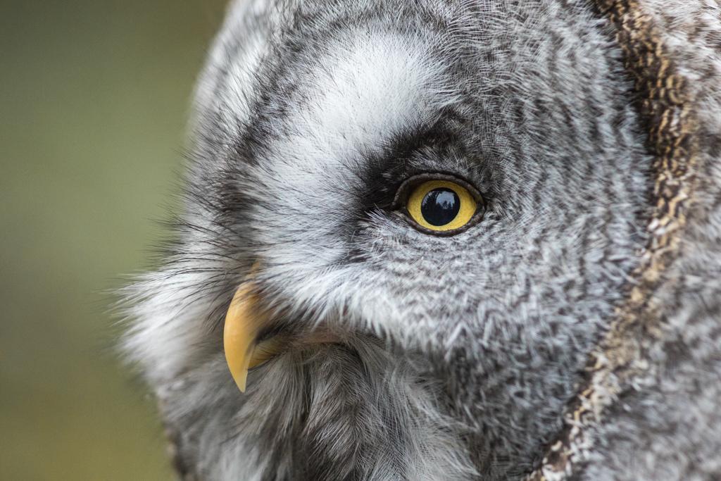 Owl from wildlife park Goldau in Switzerland