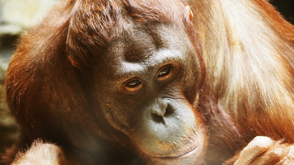 Orang-utans have been observed self-medicating, using plants with anti-inflammatory properties topically