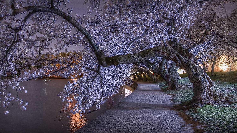 Cherry Blossom Trees at Night