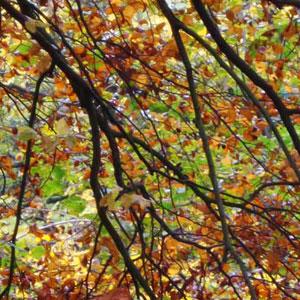 autumn_beech_.jpg
