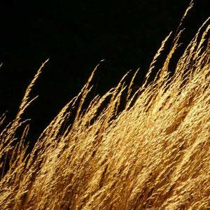 golden_grass_.jpg