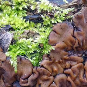 Moss-V-Mushroom_.jpg