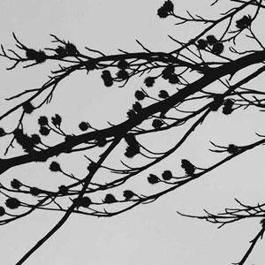 Beech_nut_silhouette3_.jpg