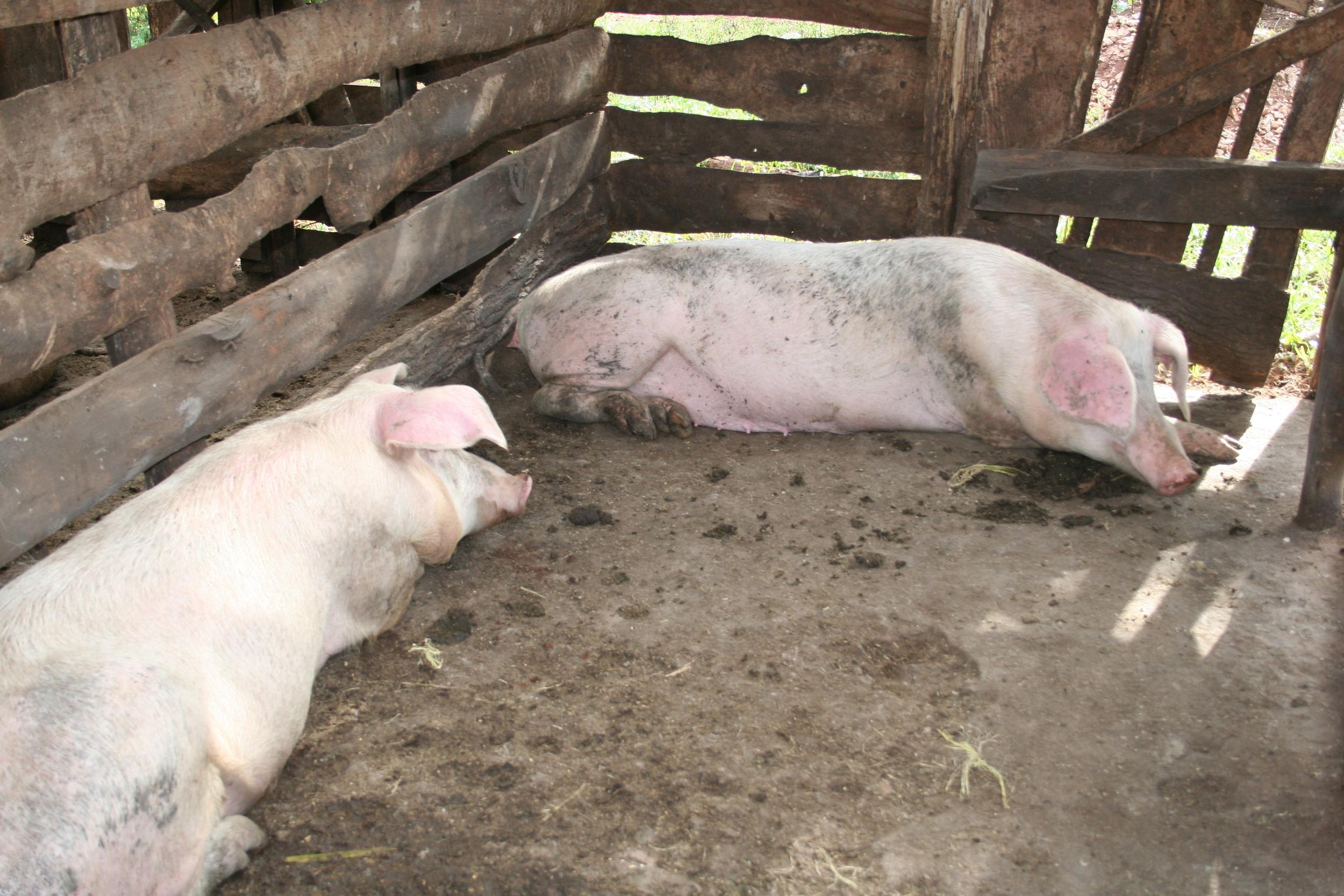 Livingstone Tanzania Trust pig breeding